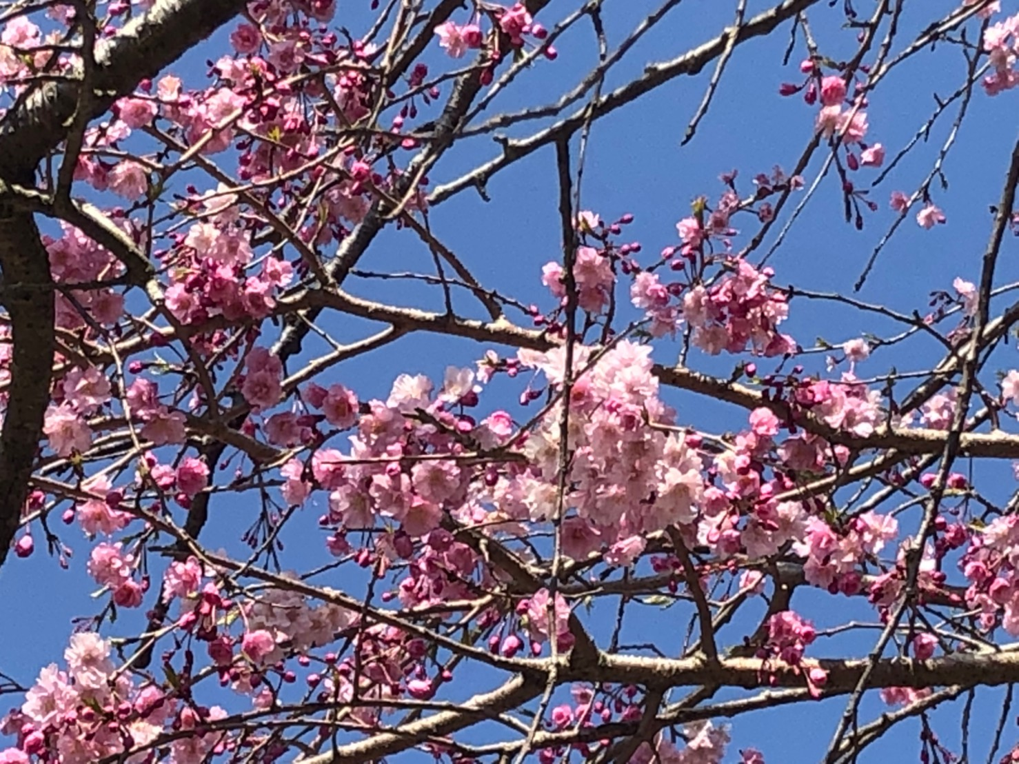 春爛漫 市内某所の枝垂れ桜